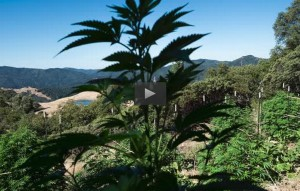 "As reported 8/29/15 in the Sacromento Bee, ""California regulators undertake unique experiment to govern water use for marijuana. Video by Paul Kitagaki Jr."""